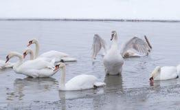 Härlig svan i den djupfrysta flodDonauen Royaltyfria Bilder