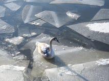 Härlig svan i floden i vinter, Litauen arkivbilder