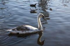 Härlig svan i sjön Arkivbilder