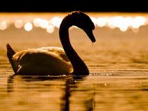 Härlig svan i solnedgång Arkivbild