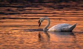 Härlig svan i vattensolnedgångfärgerna Royaltyfri Bild