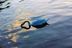 Härlig svan i vattnet i Bachinovo - Blagoevgrad nära till Rilla Arkivbilder