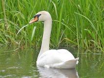 Härlig svan på flodschacket på Chenies royaltyfria bilder