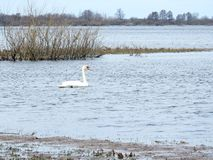 Härlig svan som svävar på vatten i flodfältet, Litauen arkivbilder