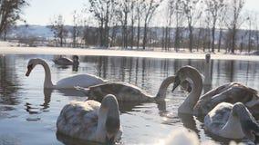 Härlig svanfågelfamilj på vinter sjön arkivfilmer