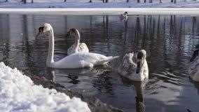 Härlig svanfågelfamilj på vinter sjön lager videofilmer