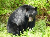 Härlig svart björn Arkivbild