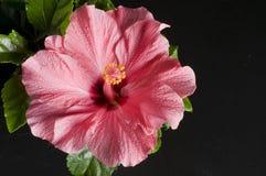 härlig svart blommahibiskus över pink Royaltyfri Foto