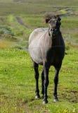 Härlig svart häst som möts nära HusavÃk, Island arkivbilder