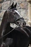 Härlig svart holländsk warmblood med tygeln Royaltyfri Fotografi