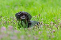 Härlig svart hund som poserar på våräng royaltyfria foton