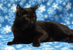 Härlig svart katt med bärnstensfärgade ögon royaltyfria foton