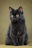 Härlig svart katt med gula ögon royaltyfria foton