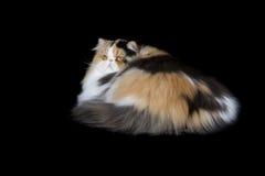 härlig svart kattperser för bakgrund Royaltyfri Bild