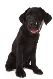 Härlig svart labrador Arkivbilder