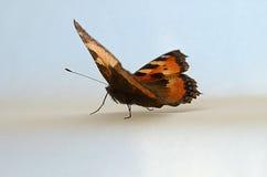Härlig svart- och apelsinfjäril Fotografering för Bildbyråer
