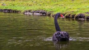 Härlig svart svan bakifrån och att sväva i vattnet, elegant waterbird från Australien royaltyfri foto