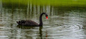 Härlig svart svan som svävar i vattnet, stor waterbird från Australien royaltyfria bilder