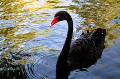 härlig svart swan royaltyfria foton