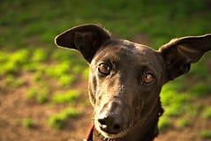 Härlig svart vinthund royaltyfri foto