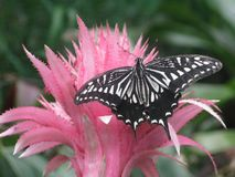 Härlig svartvit fjäril på rosa färgblomman Fotografering för Bildbyråer