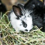 Härlig svartvit kanin i höet Royaltyfri Fotografi