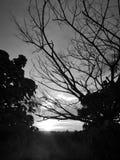 Härlig svartvit solnedgångsikt i risfältfält och filialträd royaltyfri bild