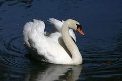 härlig swan Royaltyfri Fotografi