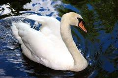 härlig swan Arkivfoto