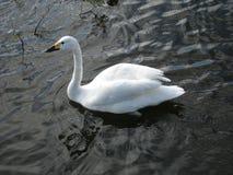 härlig swan Fotografering för Bildbyråer