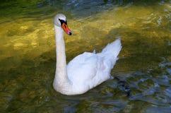 härlig swan Arkivbild