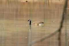 härlig swan royaltyfri foto