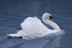 härlig swanwhite Arkivfoto