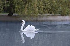 härlig swanwhite Royaltyfri Foto