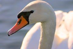 härlig swanwhite Fotografering för Bildbyråer