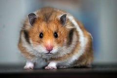 Härlig syriansk hamster close upp arkivbilder