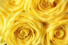 härlig tät rose övre yellow Fotografering för Bildbyråer