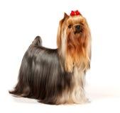 härlig terrier yorkshire royaltyfria foton