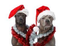 Härlig thai rifgbeckhund i jullock royaltyfri foto