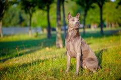 Härlig thailändsk Ridgeback hund Arkivfoton