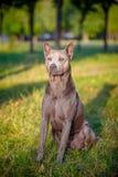 Härlig thailändsk Ridgeback hund Arkivbild