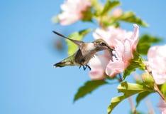 härlig throated hummingbirdruby Fotografering för Bildbyråer
