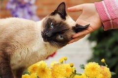 Härlig tillgiven Siamese katt Arkivfoton