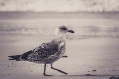 Härlig tonad bild av en fiskmåsfågelunge som går på stranden royaltyfria foton