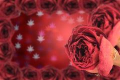 härlig torr röd ros med ramen på suddighetsbokeh Royaltyfria Bilder