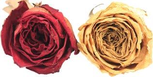 härlig torr röd & vit ros Arkivfoton