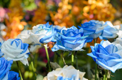 Härlig trädgård för blåa och vita rosor Arkivbilder