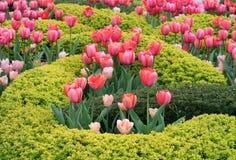 Härlig trädgård med nätta rosa Tulip Flowers Arkivfoto