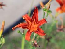 Härlig trädgårds- blommalilja Arkivbild
