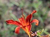 Härlig trädgårds- blommalilja Arkivbilder